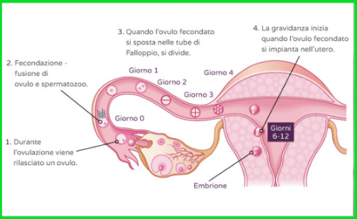 ovulazione durante lerezione)